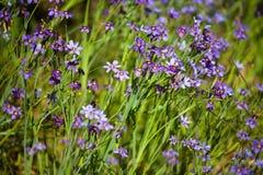 La masse de l'herbe aux yeux bleus de Wildflower Photos stock