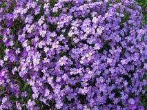 La masse des fleurs pourprées Image stock