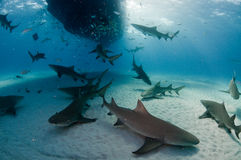 La masse des requins de citron Photographie stock