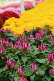 La matrice splendida della caduta fiorisce alla scuola materna locale Fotografie Stock