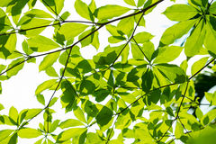 La mattina delle foglie Immagini Stock Libere da Diritti