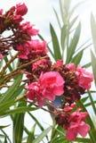 La mattina fiorisce il lightshine della Sri Lanka Immagini Stock Libere da Diritti