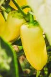 La maturazione dei peperoni Immagini Stock
