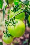 La maturazione dei pomodori Fotografia Stock