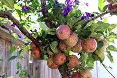 La maturazione delle mele rosse su un ramo incorniciato da ipomea porpora fiorisce Immagine Stock Libera da Diritti