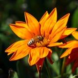 La mayoría de la abeja recoge el néctar en la flor Fotografía de archivo libre de regalías