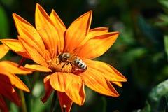 La mayoría de la abeja recoge el néctar en una flor Fotos de archivo libres de regalías
