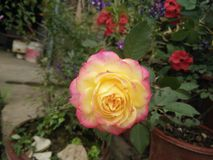 La mayoría de la flor hermosa Fotografía de archivo libre de regalías