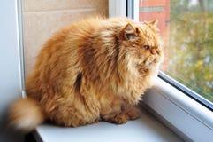 La mayoría del gato divertido del jengibre del glotón gordo imagen de archivo