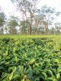 La mayoría del jardín de té hermoso imagenes de archivo