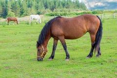 La mayoría del caballo marrón hermoso Fotos de archivo