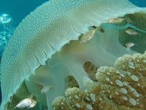 La medusa è un luogo sicuro per i piccoli pesci Fotografia Stock