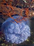 La medusa de la corona flota por Wreck - Fiji Fotos de archivo libres de regalías