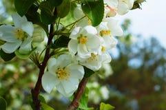 La mela bianca di Bluring fiorisce nel tempo di primavera con le foglie verdi Immagine Stock