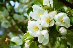 La mela bianca di Bluring fiorisce nel tempo di primavera con le foglie verdi Fotografia Stock Libera da Diritti
