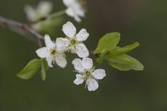 La mela bianca fiorisce il ramo con le foglie Fotografie Stock Libere da Diritti
