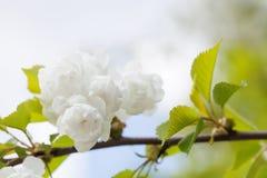 La mela cinese di fioritura si ramifica con i fiori bianchi e le foglie verdi albero del crabapple, primo piano dell'albero da fr Fotografia Stock