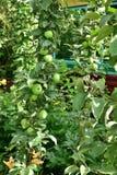 La mela colonnare è clone naturale di di melo che non ha rami laterali immagini stock