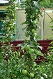 La mela colonnare è clone naturale di di melo che non ha rami laterali immagine stock