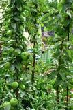 La mela colonnare è clone naturale di di melo che non ha rami laterali fotografia stock