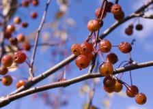 La mela di granchio Fotografie Stock