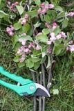 la mela si ramifica cesoie Fotografia Stock