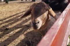 La mentira de las ovejas en la pluma Imagen de archivo libre de regalías
