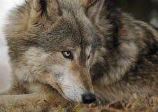 La menzogne giù lupo di legname sembra di destra Fotografie Stock Libere da Diritti
