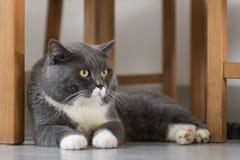 La menzogne grigia del gatto Immagine Stock Libera da Diritti