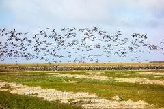 La Mer du Nord de Westerhever d'oiseaux photos stock
