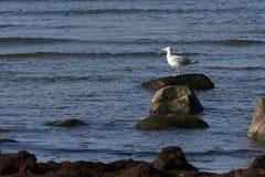 La mer miaulent Image libre de droits