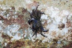 La Mer Noire Le petit verrucosa d'Eriphia de crabe en pierre du crabe deux se repose sur une roche et alimente sur les restes org image libre de droits