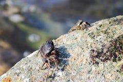 La Mer Noire Le petit verrucosa d'Eriphia de crabe en pierre du crabe deux se repose sur une roche et alimente sur les restes org images stock