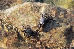 La Mer Noire Le petit verrucosa d'Eriphia de crabe en pierre du crabe deux se repose sur une roche et alimente sur les restes org photo libre de droits