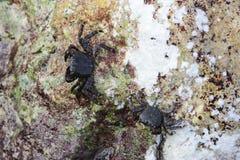 La Mer Noire Le petit verrucosa d'Eriphia de crabe en pierre du crabe deux se repose sur une roche et alimente sur les restes org image stock