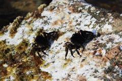 La Mer Noire Le petit verrucosa d'Eriphia de crabe en pierre du crabe deux se repose sur une roche et alimente sur les restes org photos libres de droits