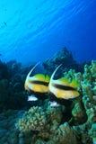 La Mer Rouge Bannerfish photographie stock libre de droits