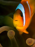 La Mer Rouge Clownfish - Anemone Fish Images stock