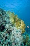 la Mer Rouge de coraux Photo libre de droits