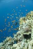 la Mer Rouge de coraux Photos stock