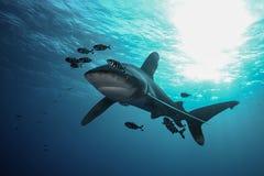 La Mer Rouge de grand requin dangereux Photos libres de droits