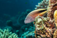 La Mer Rouge de hawkfish couverts de taches de rousseur photos libres de droits