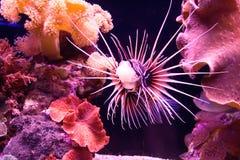 la Mer Rouge de poissons colorés Photos libres de droits