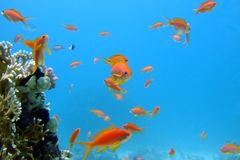 la Mer Rouge de poissons curieux photo libre de droits