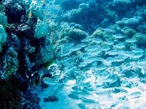 la Mer Rouge naviguante au schnorchel, Egypte image stock