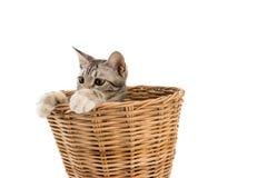 La merce nel carrello del gatto, sguardo fuori, ha isolato il fondo bianco Immagine Stock