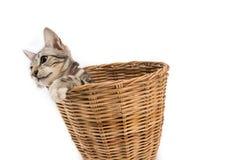La merce nel carrello del gatto, sguardo fuori, ha isolato il fondo bianco Fotografia Stock Libera da Diritti