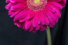 La metà del fiore rosso della gerbera con le gocce di acqua si chiude su su fondo nero Immagini Stock