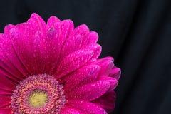 La metà del fiore rosso della gerbera con le gocce di acqua si chiude su su fondo nero Fotografia Stock
