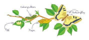 La metamorfosi della farfalla Ciclo di vita illustrazione vettoriale
